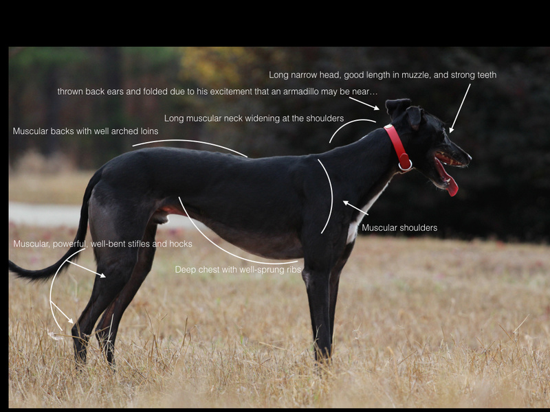 Standard du Greyhound ... Sashi_10
