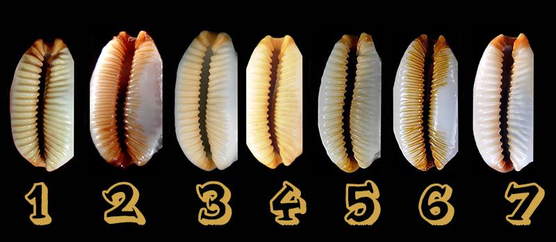 Staphylaea limacina facifer - (Iredale, 1935) Facife11