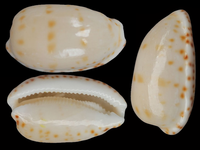 Notocypraea pulicaria - (Reeve, 1846) Notocy10