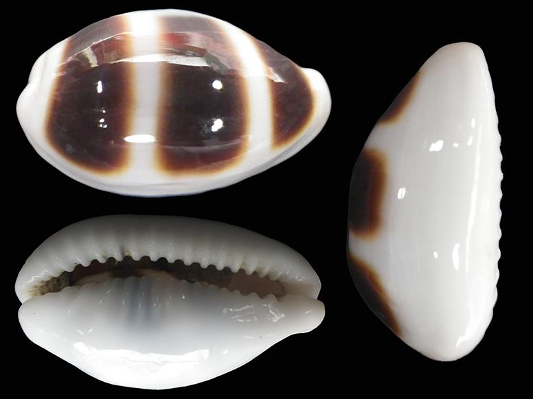 Palmadusta asellus vespacea - (Melvill, 1905) voir Palmadusta asellus asellus - (Linnaeus, 1758) Palmad11