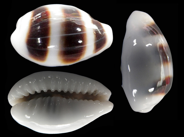Palmadusta asellus vespacea - (Melvill, 1905) voir Palmadusta asellus asellus - (Linnaeus, 1758) Palmad12