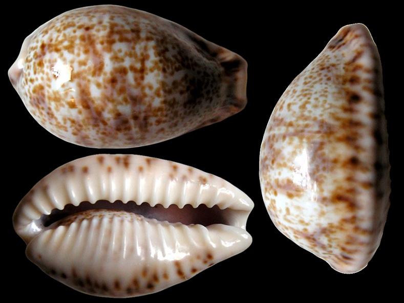 Palmadusta lentiginosa f. buhariensis - (Jonklaas, R.S.L. & K. Nicolay, 1977)  Palmad17