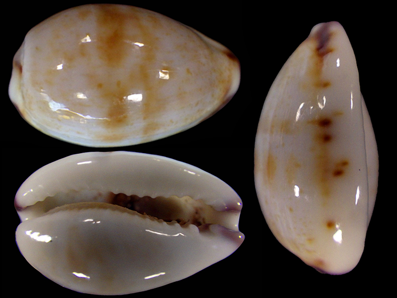 Purpuradusta fimbriata quasigracilis - Lorenz, 1989 Purpur10