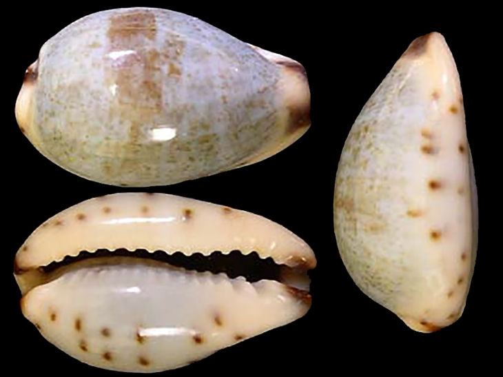 Purpuradusta gracilis macula - (Angas, 1867) Purpur11
