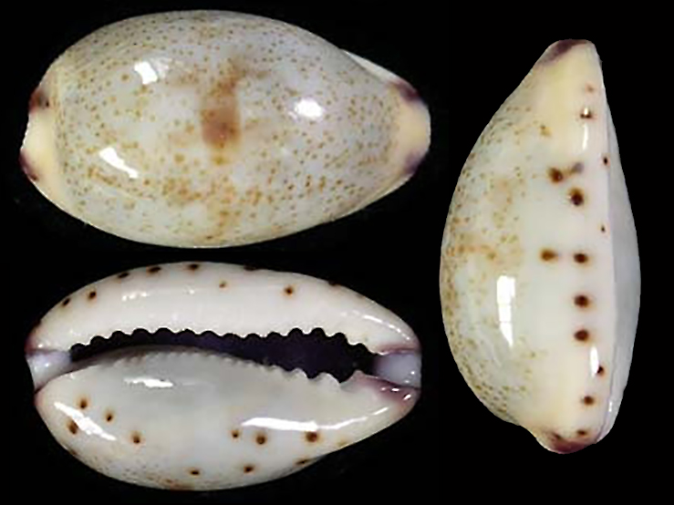 Purpuradusta gracilis nemethi - Van Heesvelde , 2010 Purpur12