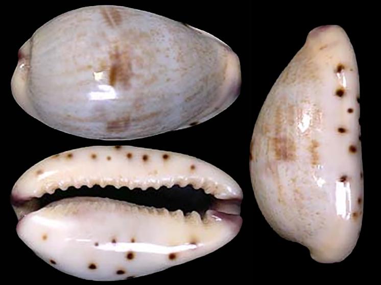 Purpuradusta gracilis jamila - Lorenz, 1998 Purpur13