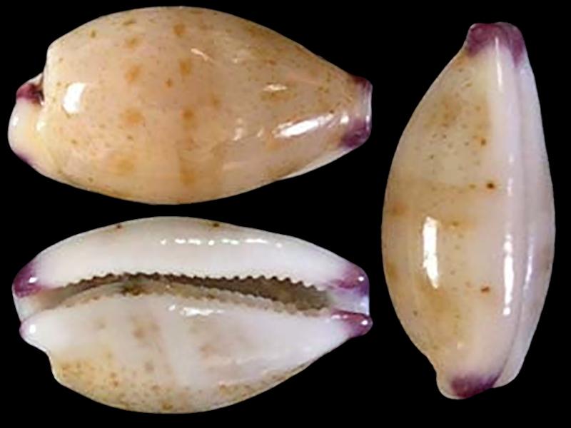 Purpuradusta microdon chrysalis - (Kiener, 1843) Purpur15