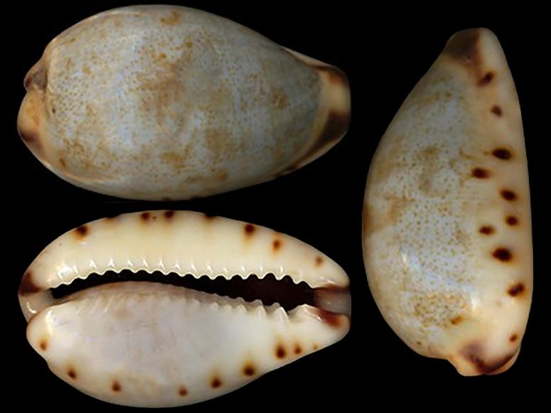 Purpuradusta gracilis notata - (Gill, 1858) Purpur17