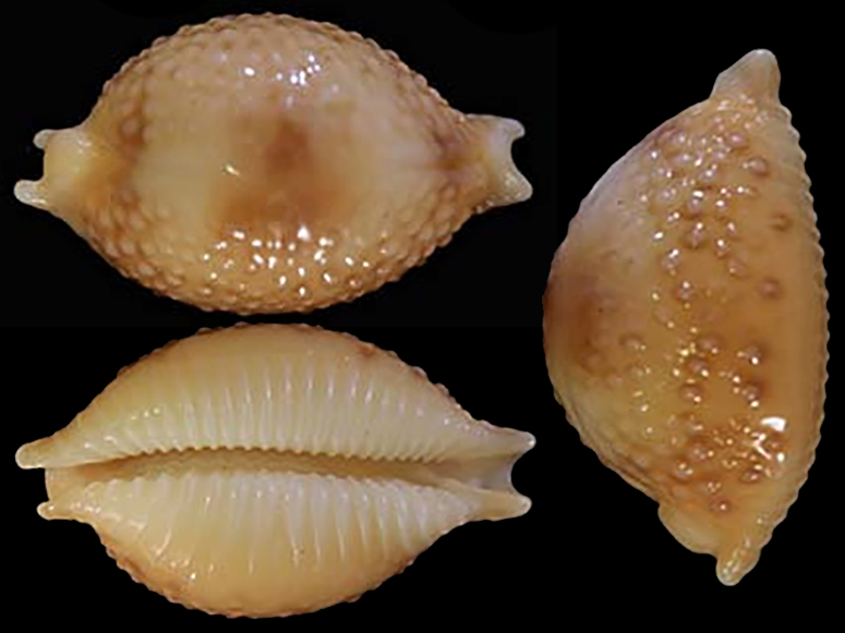 Pustularia bistrinotata ginoi - Lorenz, 2014  Pustul19