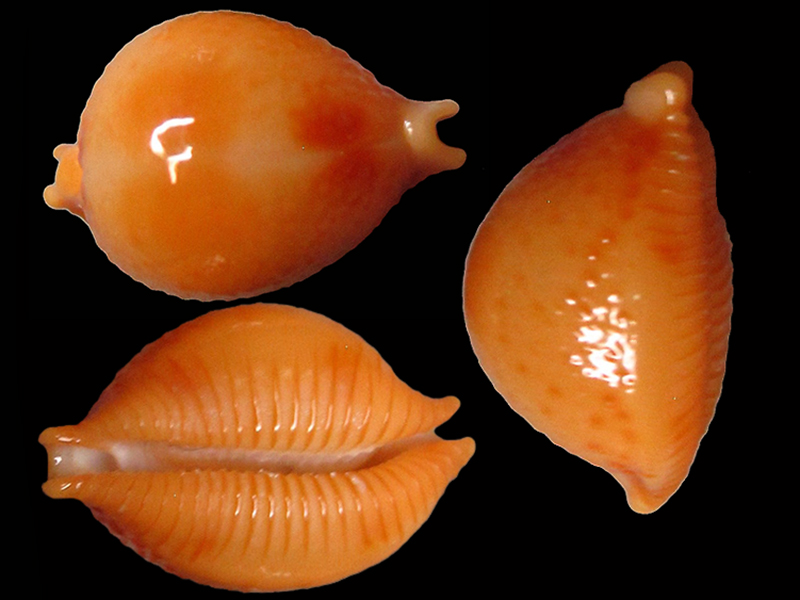 Pustularia bistrinotata excelsior - Lorenz, 2014 Pustul20