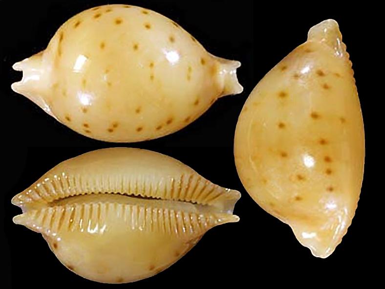 Pustularia marerubra - Lorenz, 2009 Pustul21