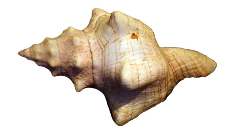 Pleuroploca trapezium (Linnaeus,1758) Rimg1411