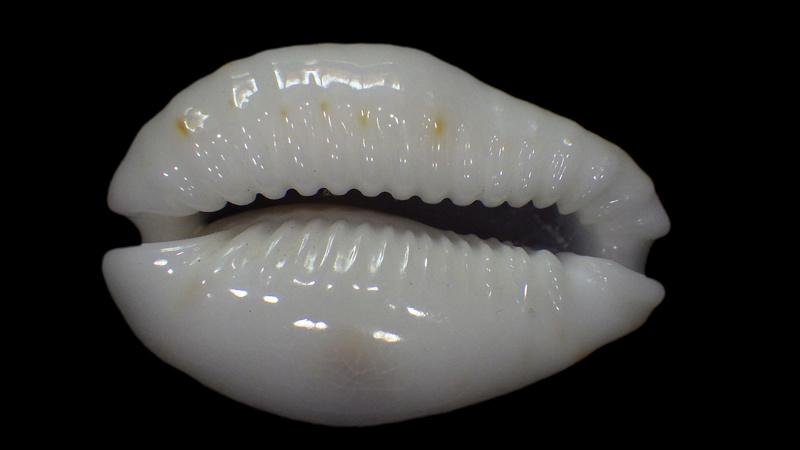 Naria erosa chlorizans f. lactescens - Dautzenberg & Bouge, 1933 Rimg1510