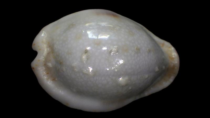 Naria erosa chlorizans f. lactescens - Dautzenberg & Bouge, 1933 Rimg1511