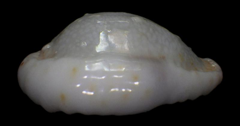 Naria erosa chlorizans f. lactescens - Dautzenberg & Bouge, 1933 Rimg1513