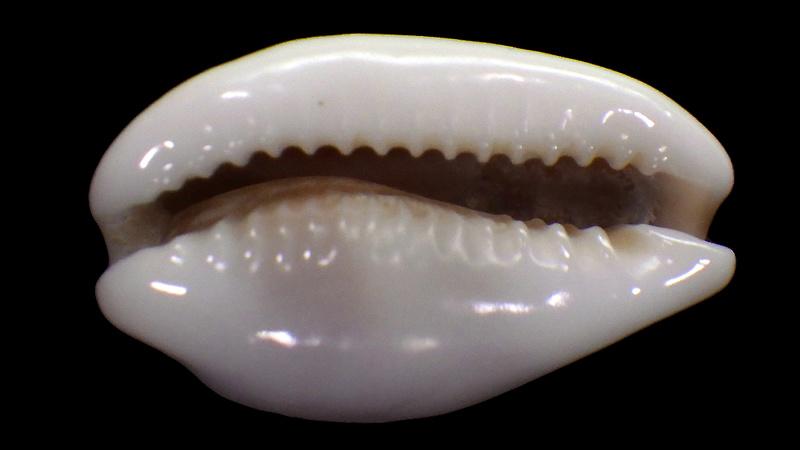 Palmadusta artuffeli - (Jousseaume, 1876) Rimg1613