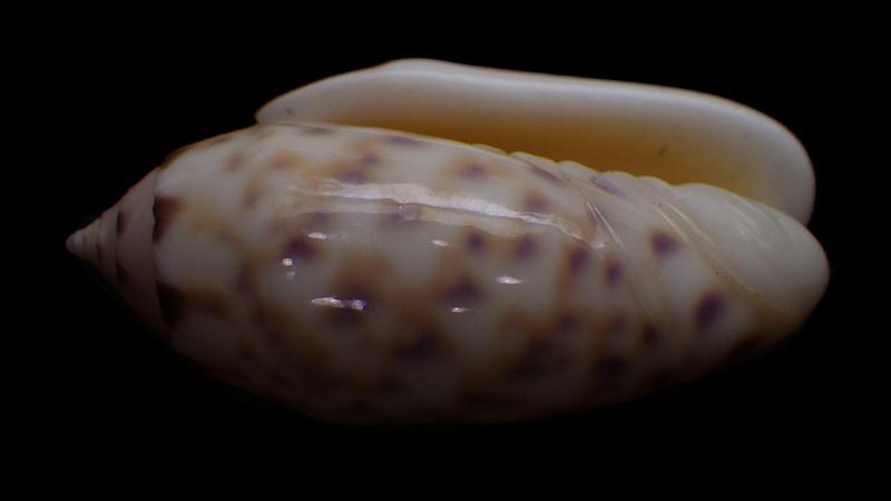 Annulatoliva amethystina (Röding, 1798) - Worms = Oliva amethystina amethystina (Röding, 1798) - Page 2 Rimg1720
