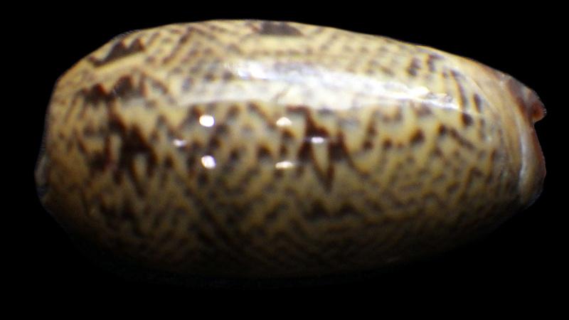 Carmione keeni (Marrat, 1870) - Worms = Oliva keenii Marrat, 1870 Rimg1723