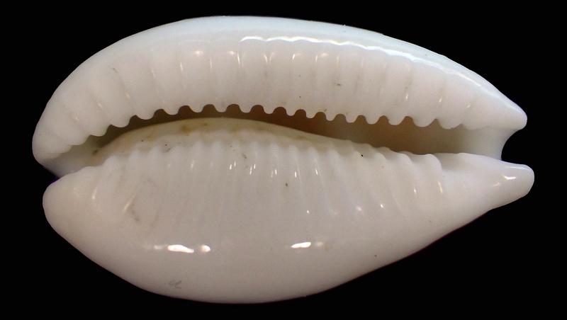 Palmadusta moniliaris - (Lamarck, J.B.P.A. de, 1810)  (Synonyme de clandestina) / absent du WoRMS au 29/07/18 Rimg1925