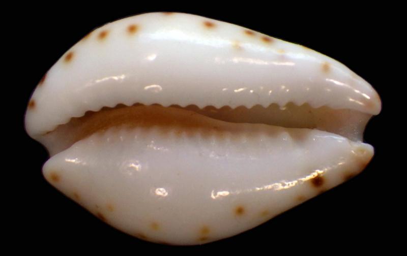 Palmadusta androyensis consanguinea - Blöcher & Lorenz, 2000 Rimg1928