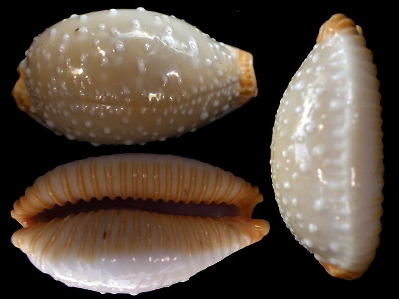 Staphylaea limacina limacina - (Lamarck, 1810) Rimg2110