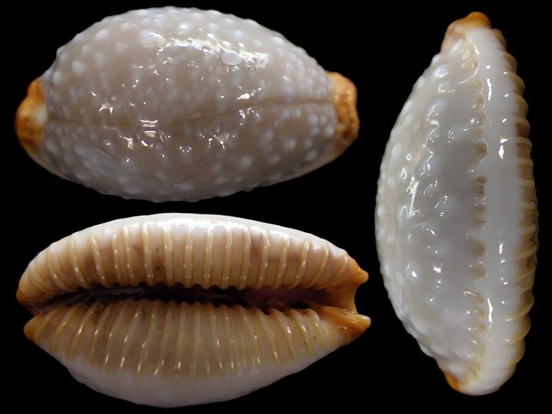 Staphylaea limacina limacina - (Lamarck, 1810) Rimg2111