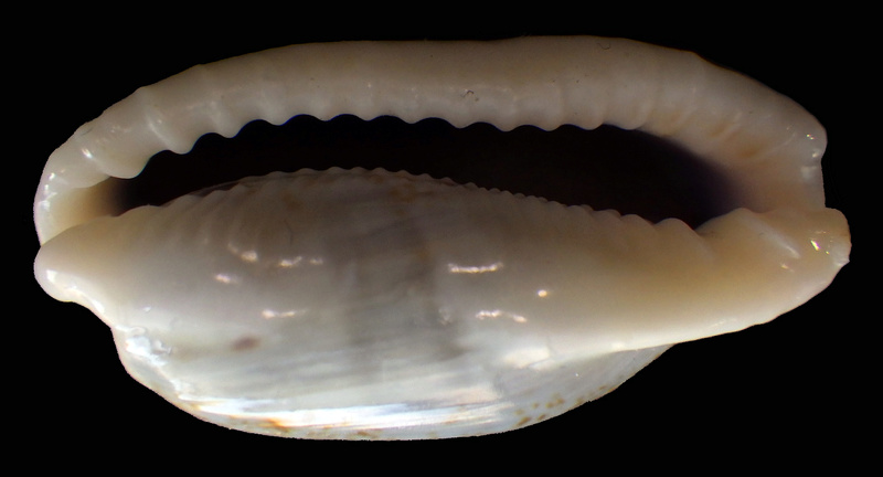 Erronea cylindrica lenella - Iredale, 1939 Rimg2211