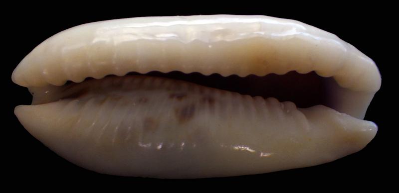 Erronea cylindrica lenella - Iredale, 1939 Rimg2214