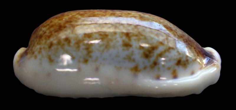 Erronea cylindrica lenella - Iredale, 1939 Rimg2215