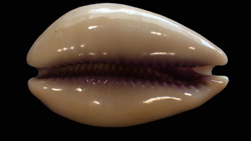Lyncina carneola crassa - Gmelin, 1791 voir Lyncina carneola - (Linnaeus, 1758)  Rimg2217