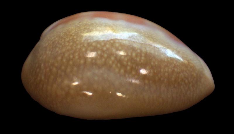 Lyncina carneola crassa - Gmelin, 1791 voir Lyncina carneola - (Linnaeus, 1758)  Rimg2218