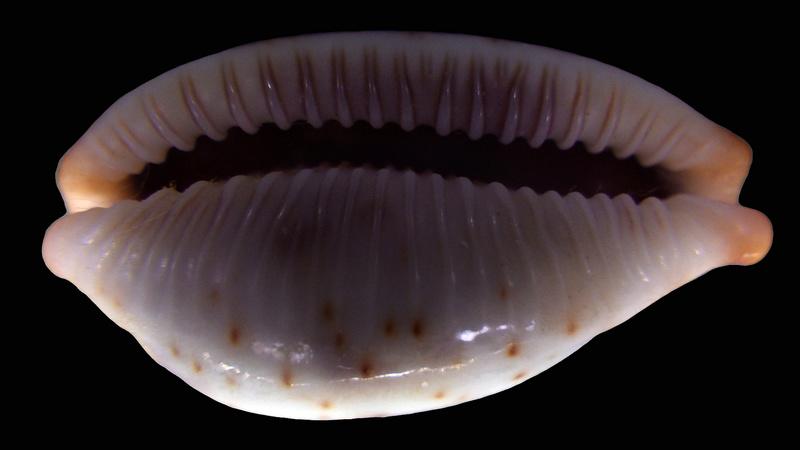 Bistolida erythraeensis - (Sowerby I, 1837) ???? Rimg2511