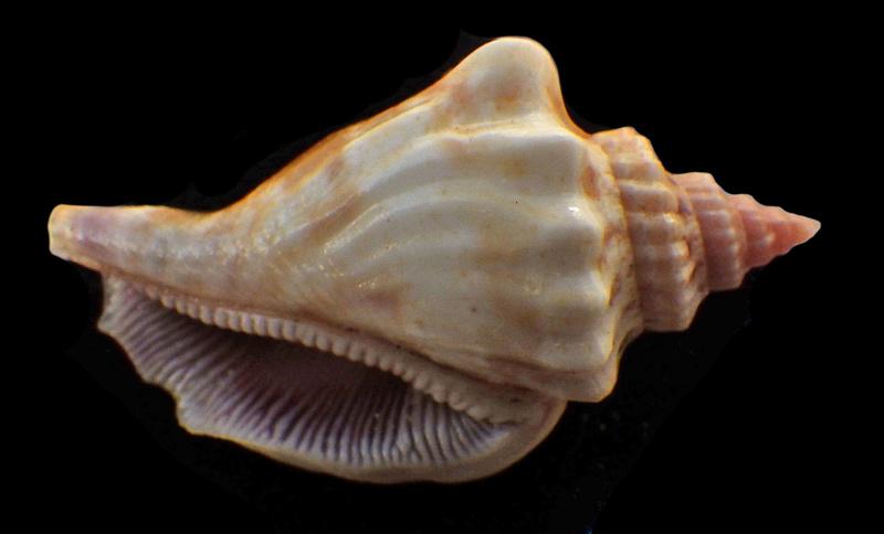 Canarium olydium - (Duclos, 1844)  Rimg2833