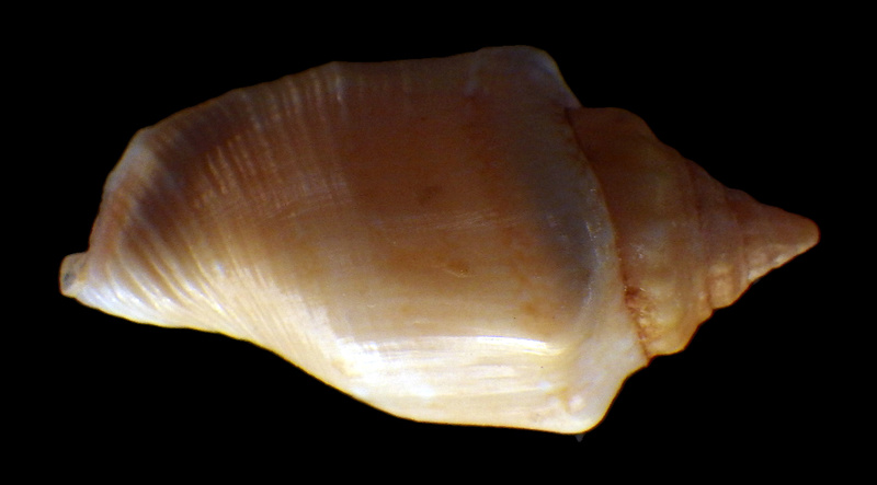 Canarium mutabile f. rufescens - Prelle, 2006 Rimg2911