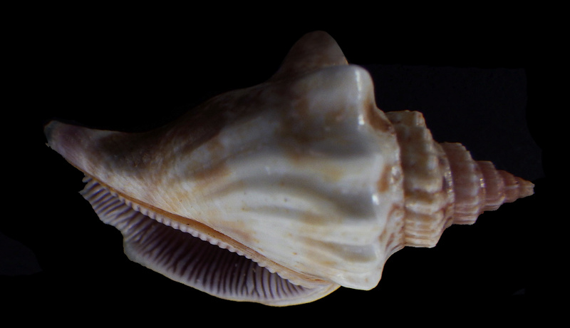 Canarium olydium - (Duclos, 1844)  Rimg2912