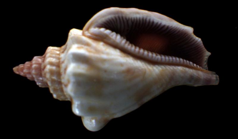 Canarium olydium - (Duclos, 1844)  Rimg2915