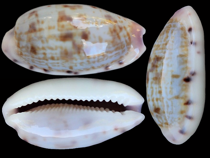 Talostolida violacincta - (Lorenz, 2002) Talost11