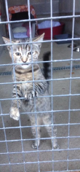 EXTRÊME URGENCE fourrière le 1er décembre pour un chaton Chaton11