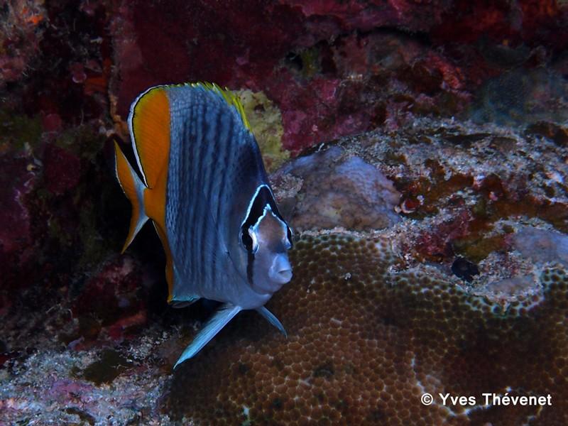 Chaetodon mertensii. Poisson-papillon. Bourai10