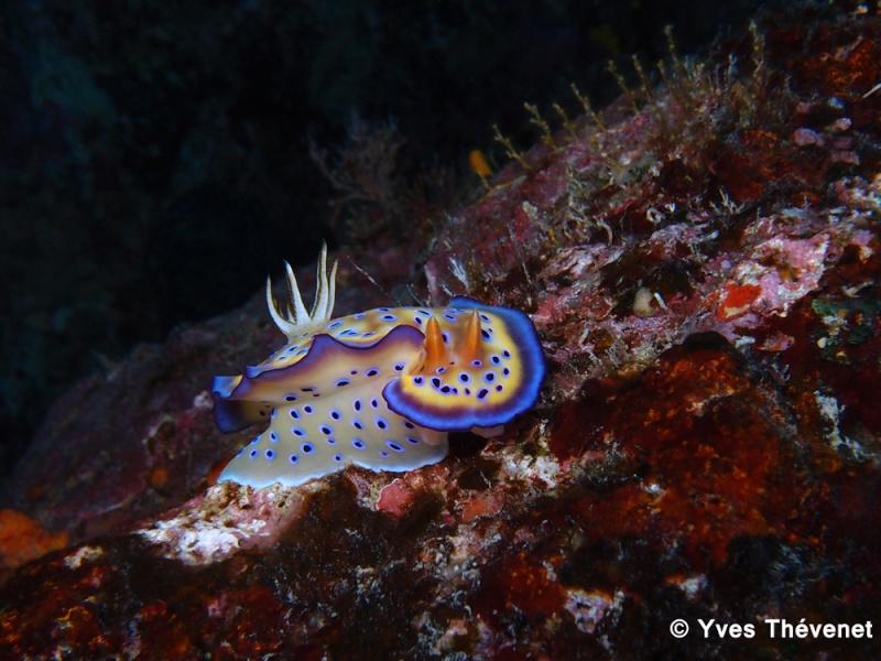 Chromodoris kuniei. Nudibranche. Idp-2011