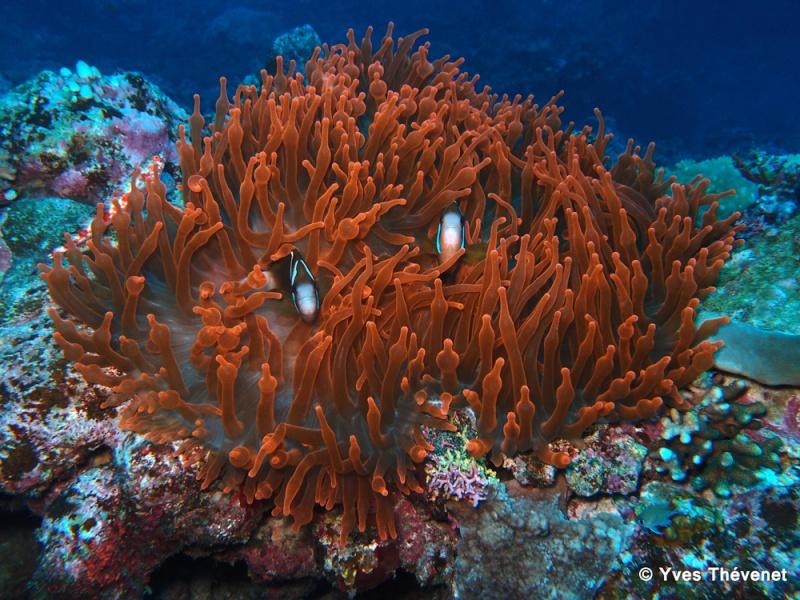 Entacmaea quadricolor. Anémone de mer. Idp-2014
