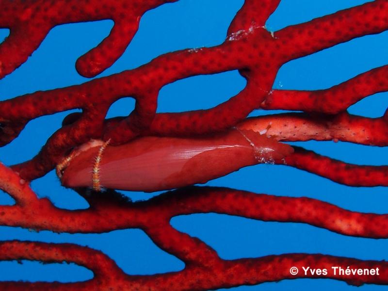 Aclyvolva lanceolata. ovule de gorgone. Idp-2030