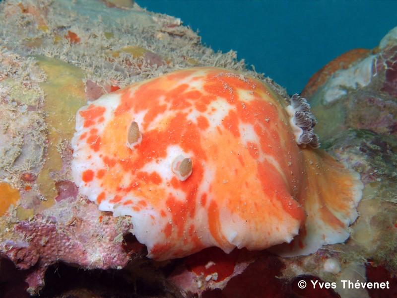 Platydoris cinereobranchiata. Nudibranche. Nouvil12
