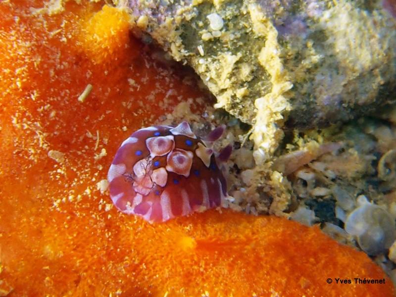 Dendrodoris denisoni. Nudibranche. Ouamo-18