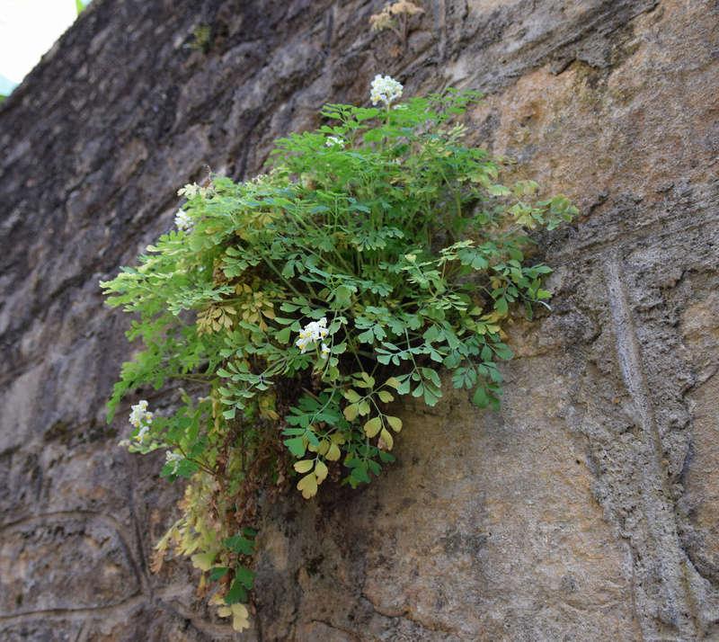 Pseudofumaria alba subsp. acaulis  (= Corydalis ochroleuca) Dsc_0017