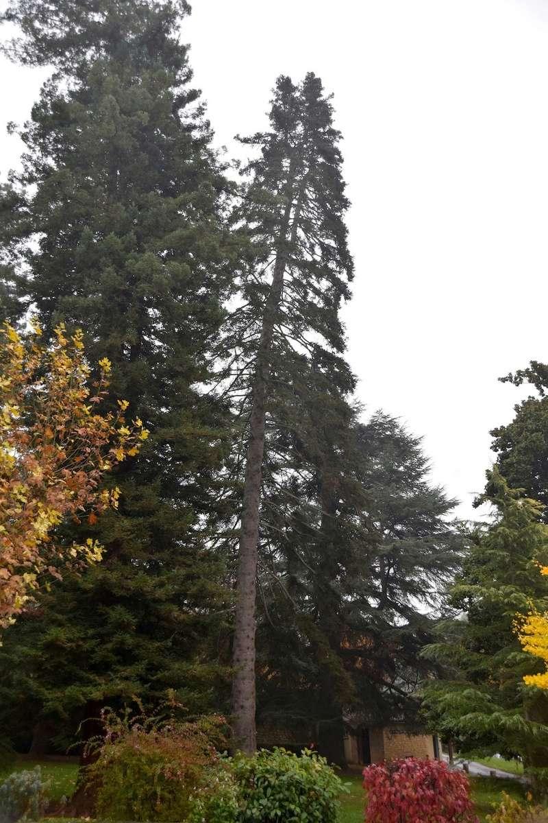 Abies pinsapo - sapin d'Espagne  Dsc_0020