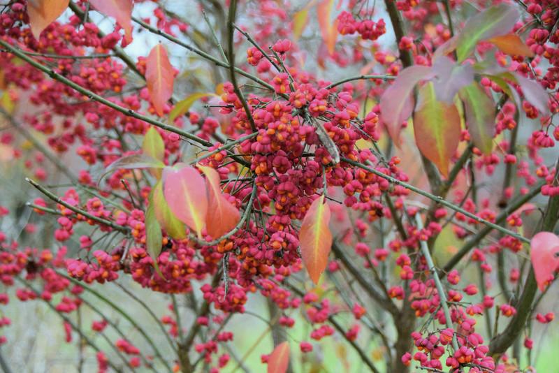 feuillages d'automne 2016 - Page 2 Fruits10