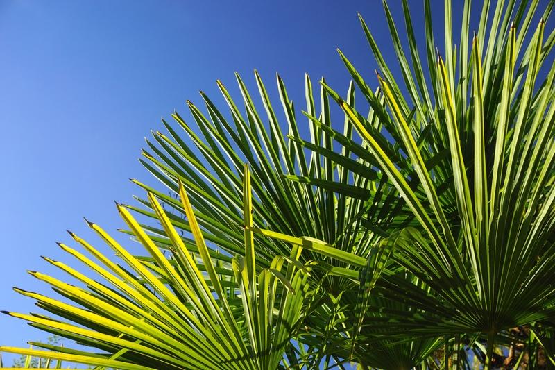 Palmier de Novembre Dsc05711