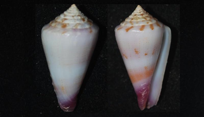 Conus (Lividoconus) floridulus  Adams & Reeve, 1848 Conus_11