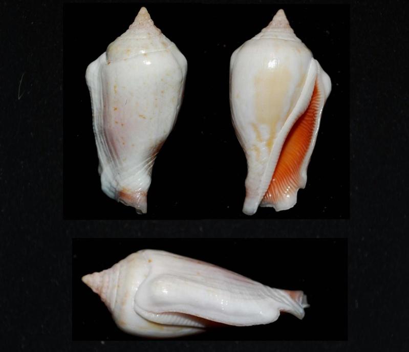 Canarium mutabile - (Swainson, 1821) Stromb11